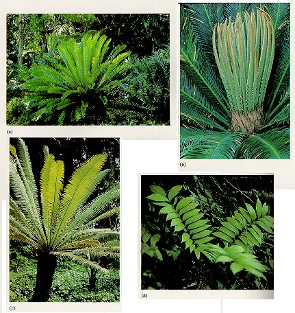 habitat shots of cycads