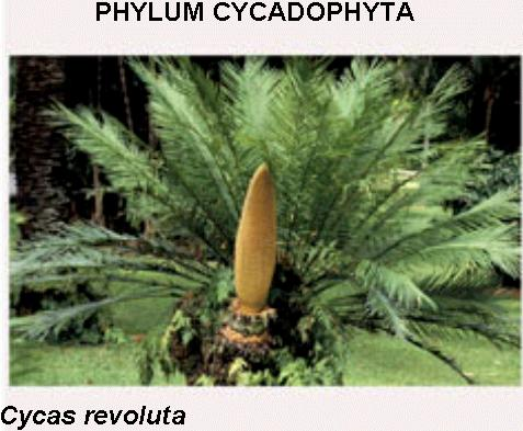 Images Of Gymnosperms