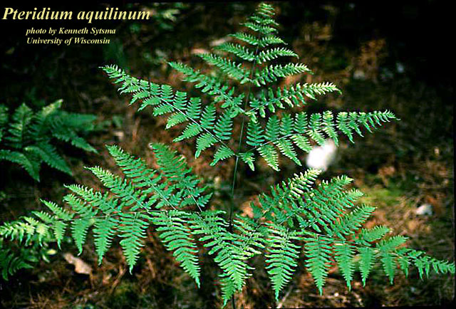 Kinds of fern for Fougere d interieur plante